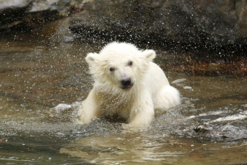 ÜLIARMAS: Berliini uus suur staar on veel nimeta jääkarutüdruk