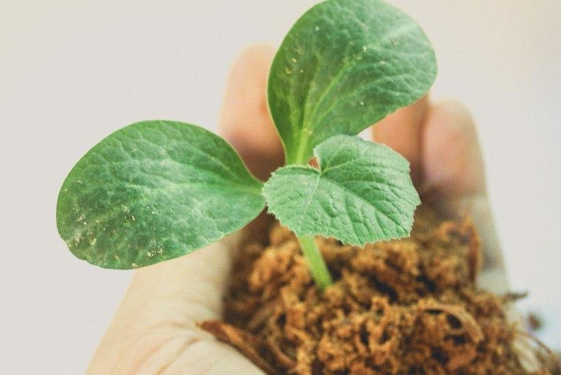 VIDEO | Pista seemned võrsuma isetehtud kasvupotti
