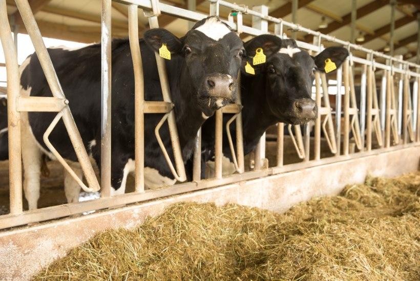 Mullikate õudne teekond Türki: Eesti eksportloomad surevad räpases veokis palavusest