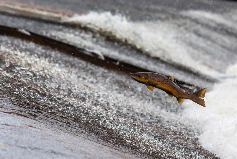 TalTechi teadlased õpivad kaladelt kliimamuutustes ellujäämist