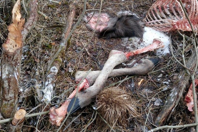 ŠOKEERIVAD FOTOD | Salakütt tappis Kullamaal tiine põdralehma