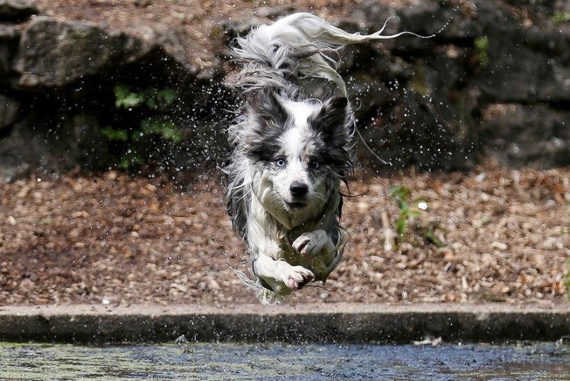 GENIAALNE KURITEGU: Ida-Viru daam viskas noormeest koerakesega
