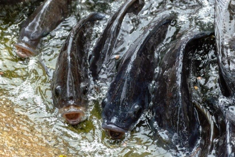 Odav Hiina tilaapia võtab Keenia kaluritelt töö