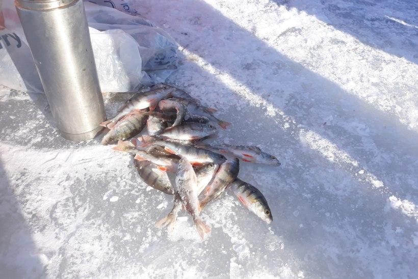 POLE KALA, POLE RÖÖVPÜÜKI! Kohus uurib, kes uputas Peipsi järve 300kilose kalasaagi