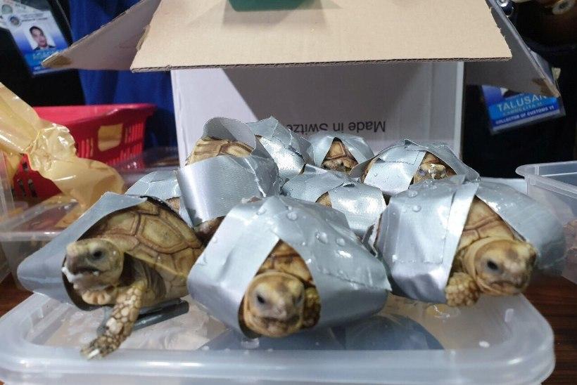 TEIBIGA KINNI MÄHITUD: Filipiinide lennujaamast avastati üle 1500 ebaseaduslikult riiki toodud kilpkonna