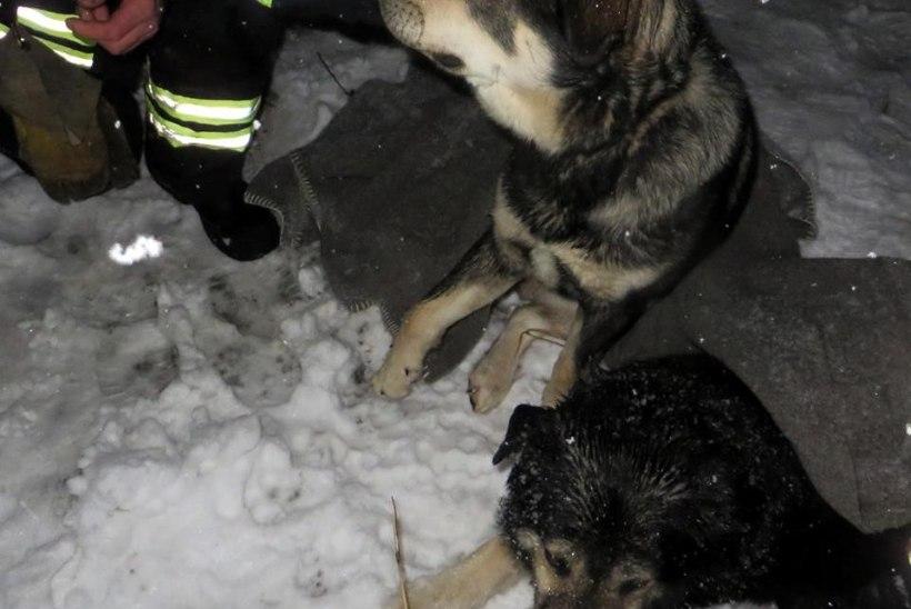 Võrumaal said raskelt vigastada avariisse sattunud koerad