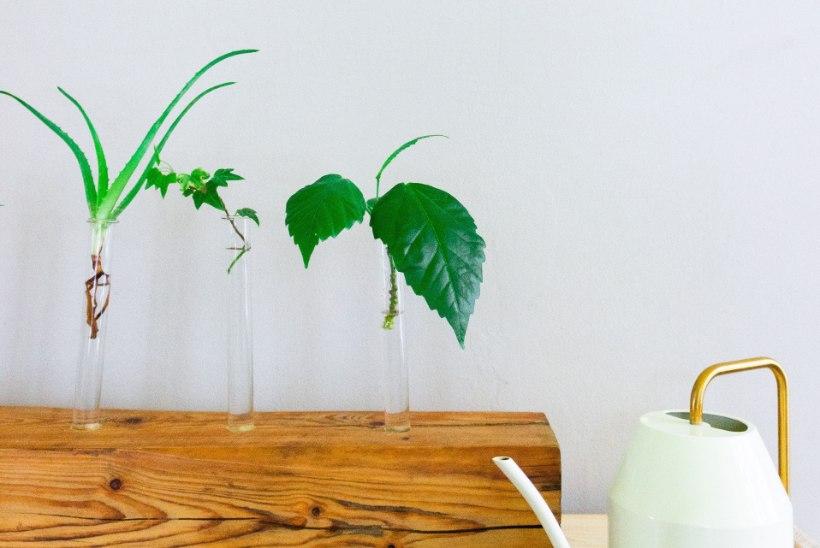 Ilus ja praktiline! Pane taimepistikud kasvama katseklaasi