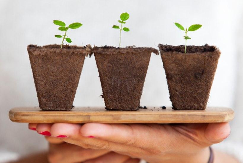 Seemned ootavad mulda pistmist: head nipid, kuidas ise istikuid kasvatada
