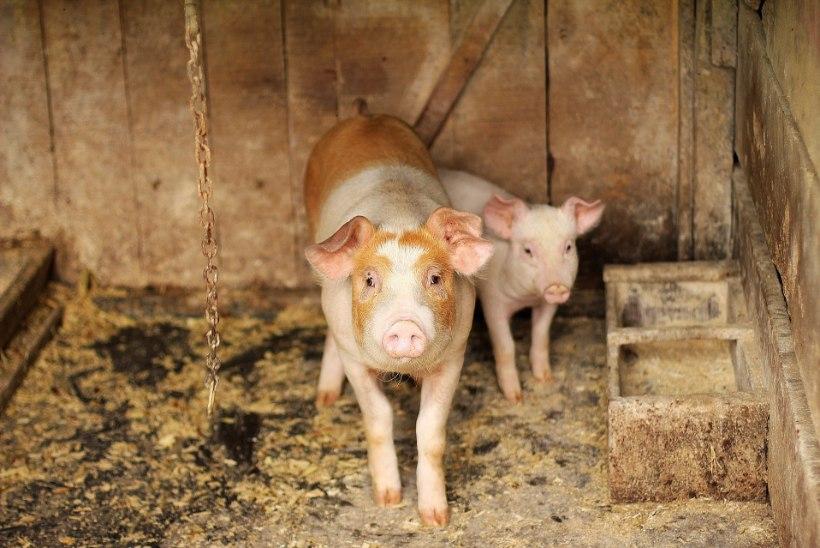 MINDI LIIALE: veganite protestiaktsioon viis kahe põrsa surmani