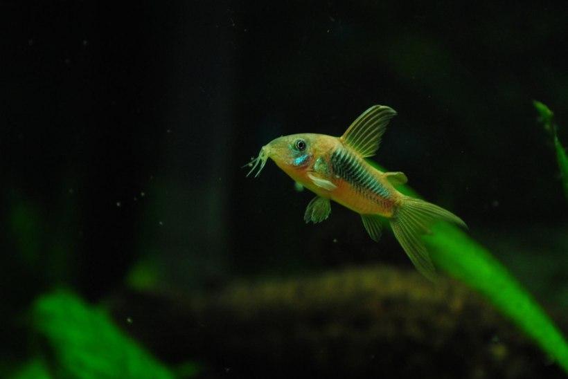PURJUS MEESTE MÄNGUD: kuidas lõppes elusa kala allaneelamise katse?