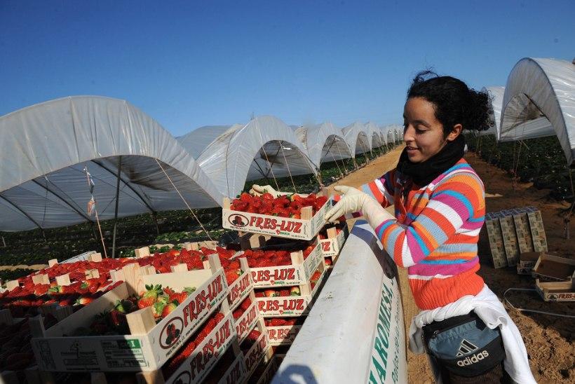 Mis on ühist Hispaania maasikatel ja Taimaa tuunikalal? Orjatöö