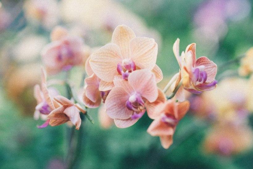 4 tähtsat tõde, kuidas orhidee eest hoolitseda