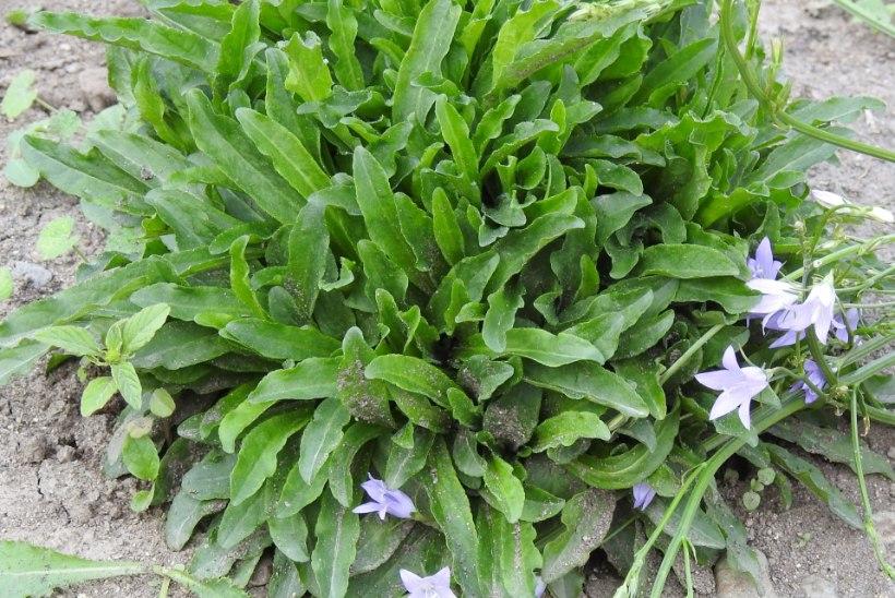 Sulle maitseb maapähkel või artišokk? Kasvata eksootilisi köögivilju oma aias!