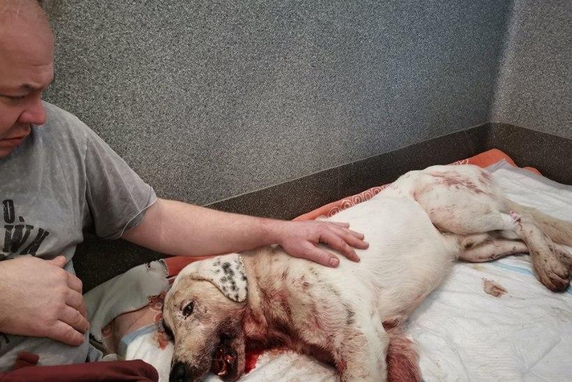 Бедный пес пострадал в Таллинне от удара двух машин. На его лечение собирают деньги
