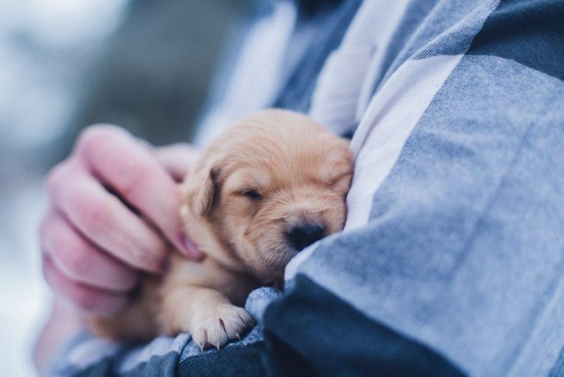 Põhjalik õpetus, kuidas valida just sulle sobivat koera