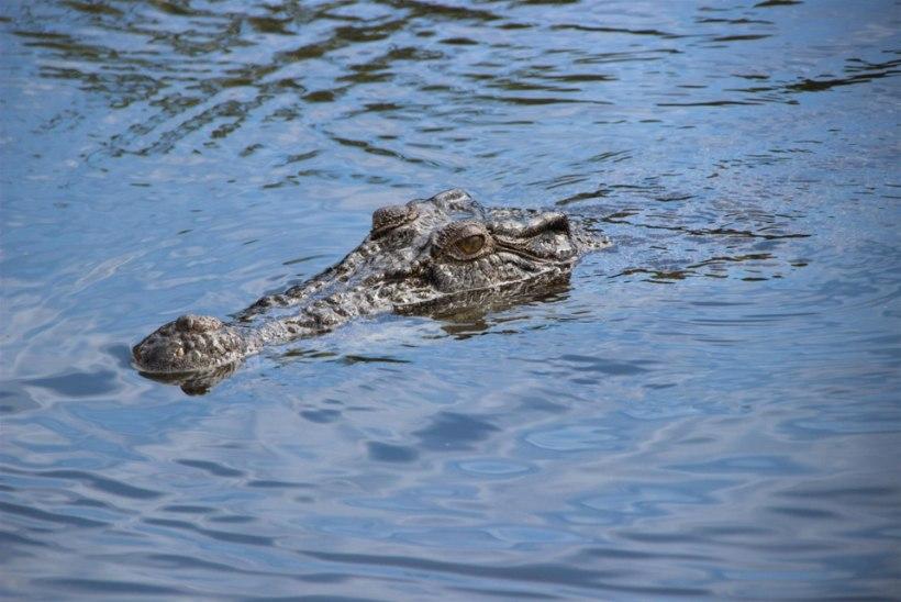 Hajameelne kalamees pääses napilt krokodillide käest