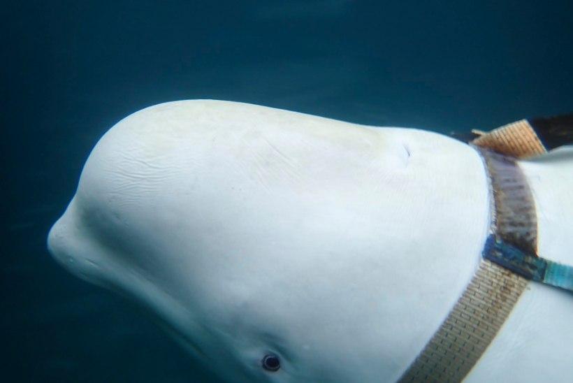 Norra kalurid leidsid Vene mereväeluure vaala?