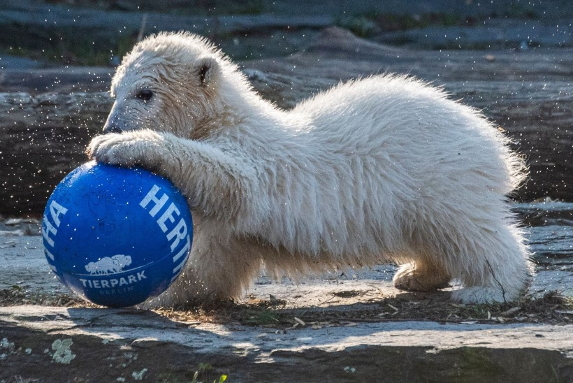 SELGUS KÄES: Berliini jääkarutüdruk sai nimeks Hertha