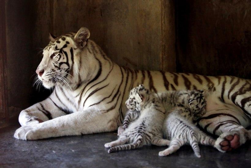 Mehhiko loomaaias sündis kolm haruldast valge Bengali tiigri kutsikat