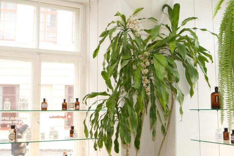 Eksootiline toataim: mida vajavad kasvamiseks draakonipuu, tõlvpuu ja tääkliilia?