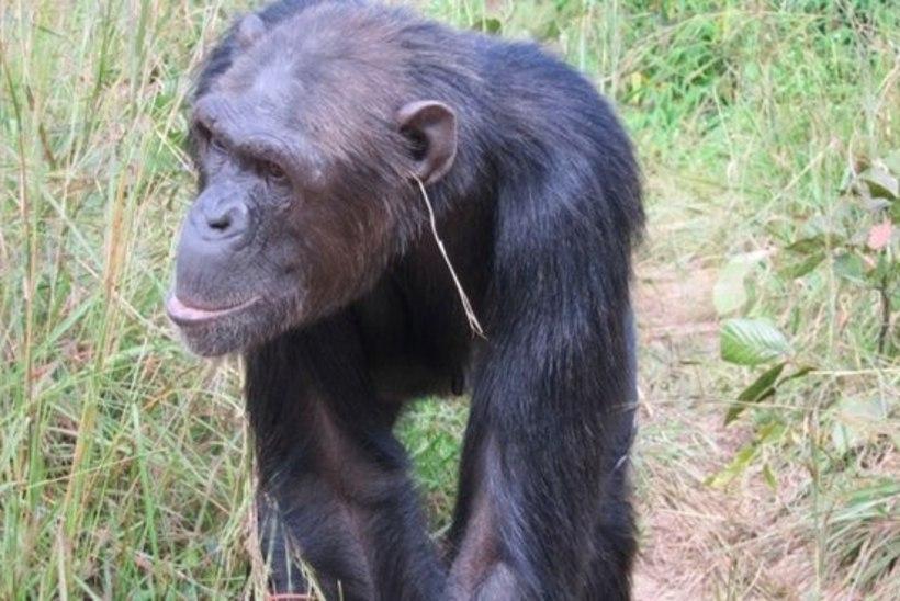 PÄEVA KASUTU FAKT | Kõige moeteadlikumad šimpansid elavad Sambias