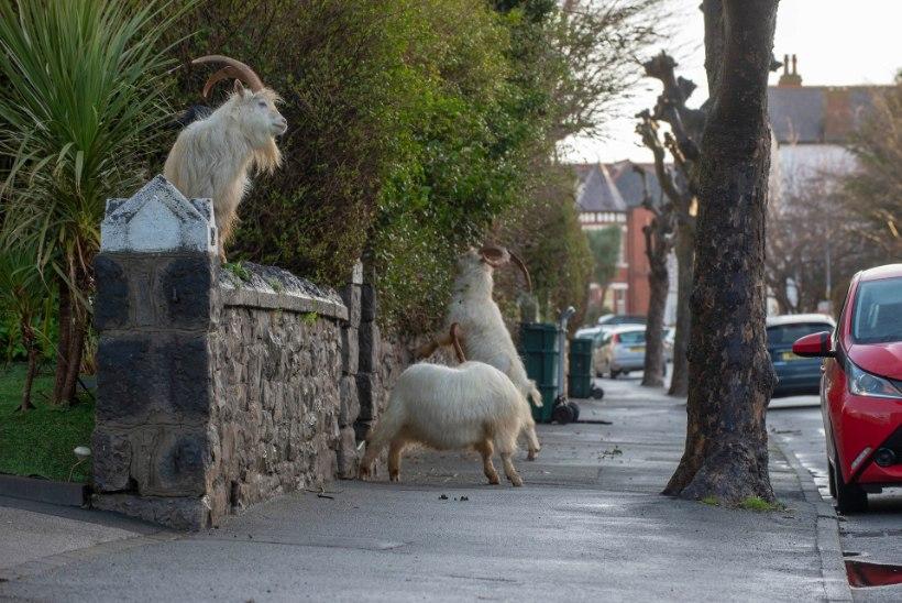 PILDID | KITSED KÄRNERIKS! Roose nosiv kitsekari vallutas Walesi linna