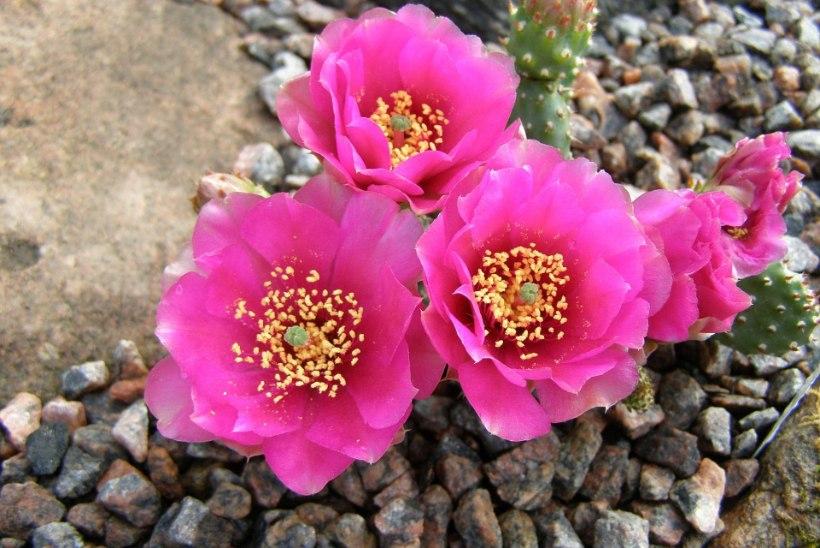 UUS MOOD! Kaktused, mida saab ka meie kliimas õues kasvatada