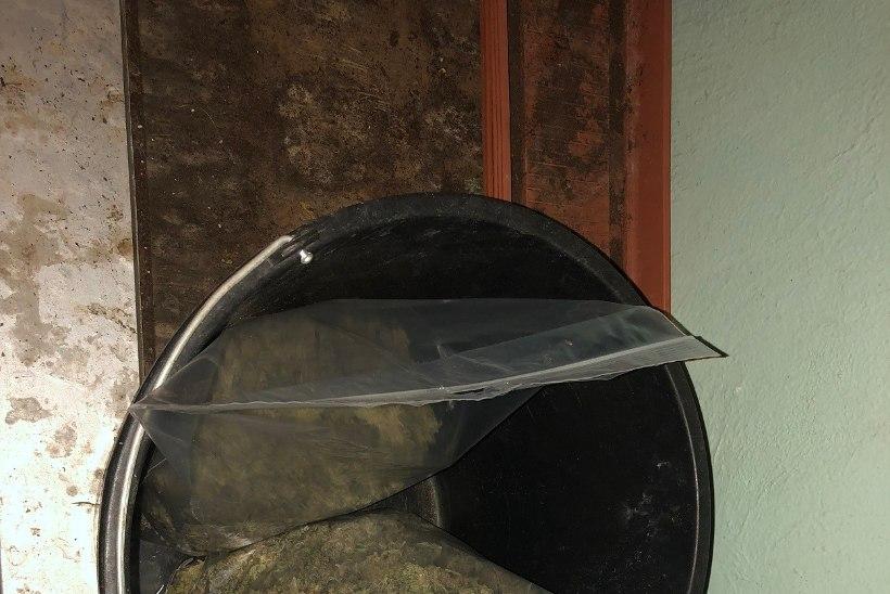 200 000 EURO EEST MEELEMÜRKI: politseinikudavastasid Lääne-Virumaal suure kanepikasvatuse