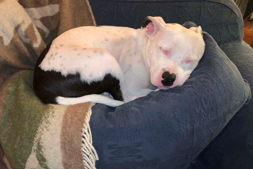 5 nippi, kuidas koer pehmest mööblist eemale hoida