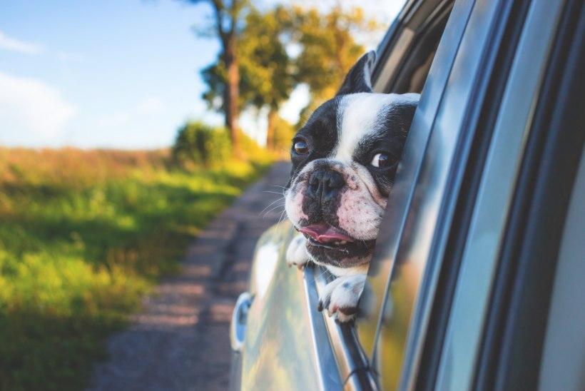 Ekspert annab nõu: kindlusta oma lemmikule turvaline ja mugav autosõit