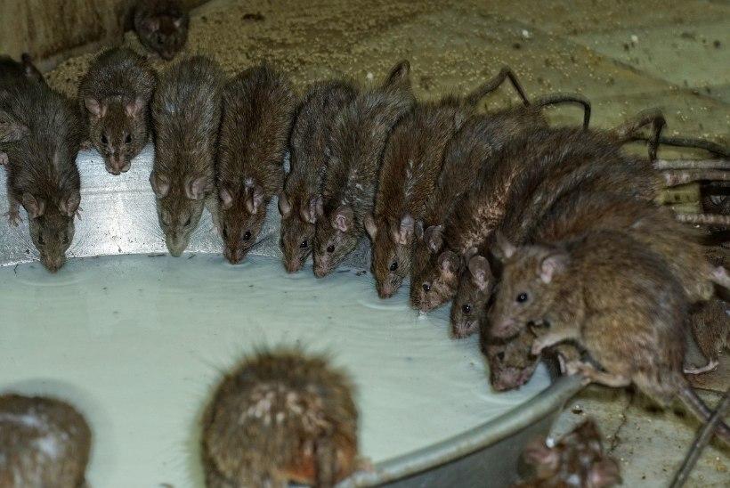 Жившую среди сотни крыс российскую девочку переселили