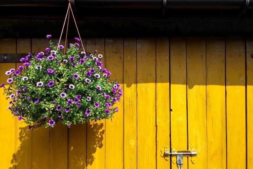 Õigesti hooldatud lilleampel püsib kaua kaunina
