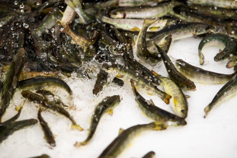 RMK täiendas jõgede lõhevarusid 153000 kalakesega