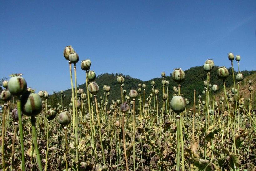 AJASTU LÕPP: fentanüül võib lõpetada Mehhiko oopiumiäri