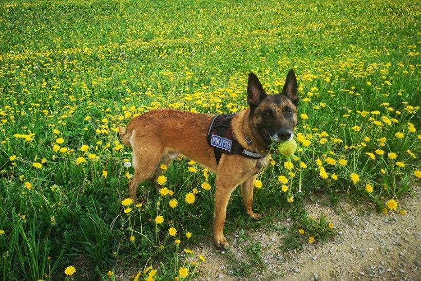 Koer aitas leida kadunud inimese