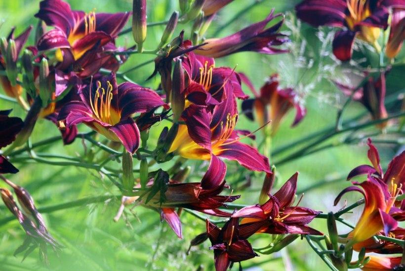 7 kaunist aiataime, mis taluvad hästi täispäikest