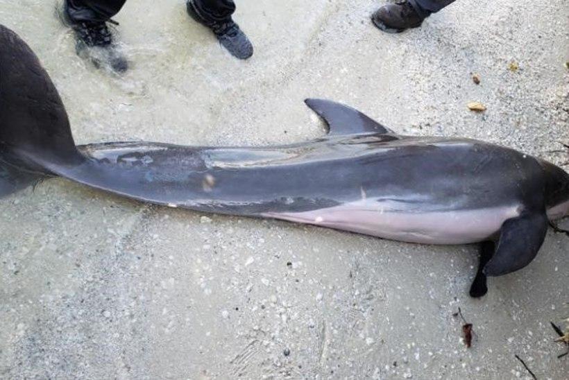 MASENDAV: surnud delfiini kõhust leiti dušivoolik