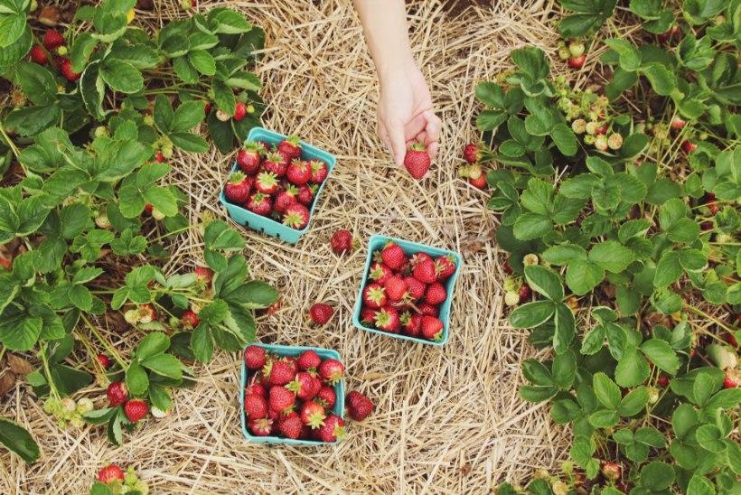Just praegu on parim aeg maasikate istutamiseks!