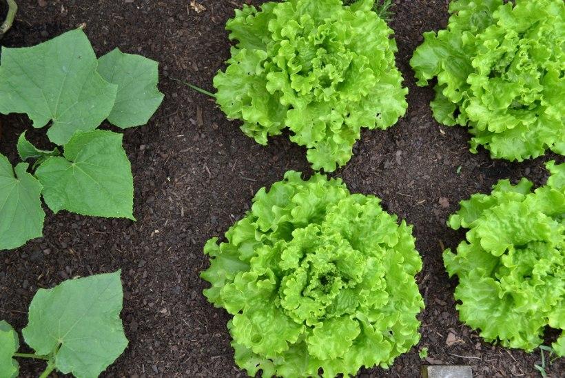 Nutikas aianipp: kasvata koos neid taimepaare, et vältida kahjureid