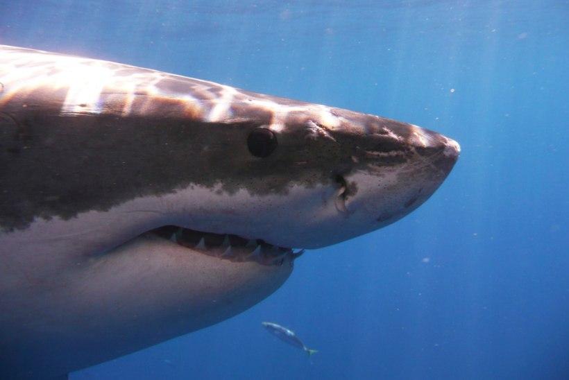 Акула загрызла пожилого туриста на Гавайях