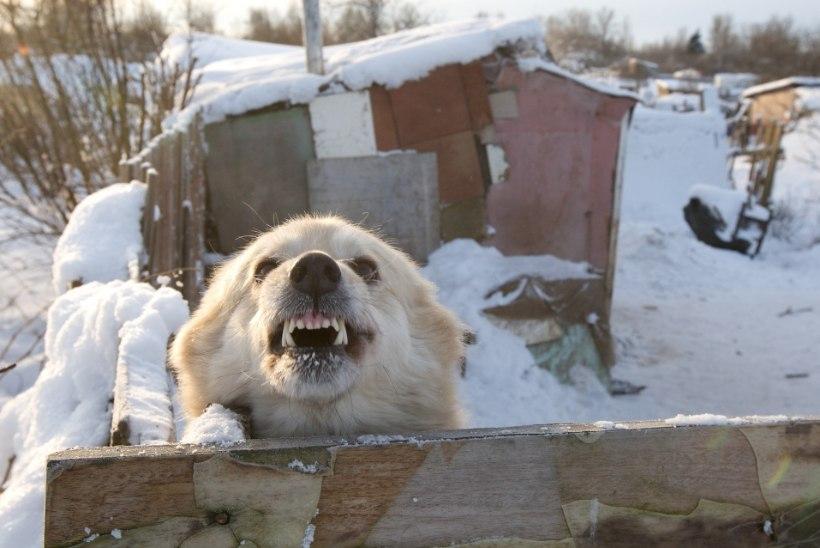 PÄEVA KASUTU FAKT | Saksa koerad hävitavad aastas üle 2000 kirjakandjate püksipaari