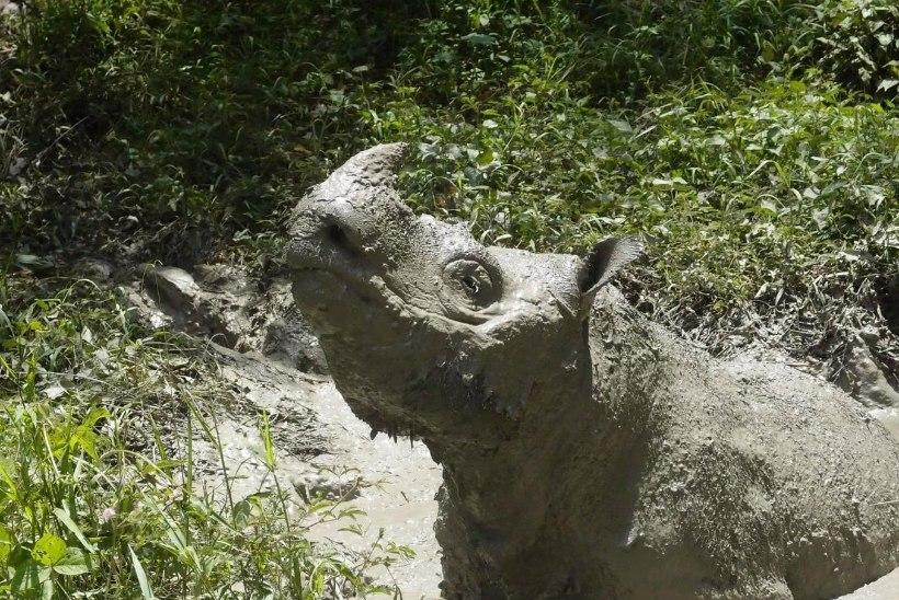 KOHUTAVALT KURB! Suri viimane isane sumatra ninasarvik Malaisias