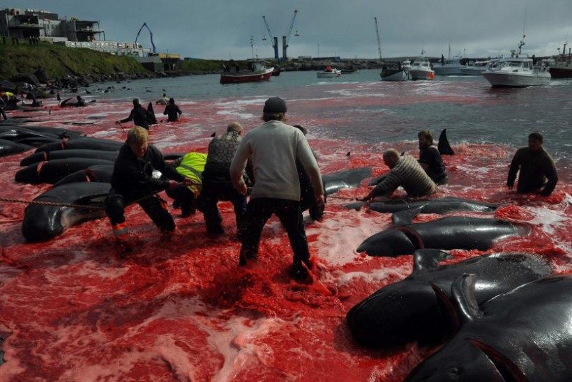 Фото не для слабонервных! Рыбаки жестоко убили более 150 дельфинов, окрасив всю бухту в кровавый цвет