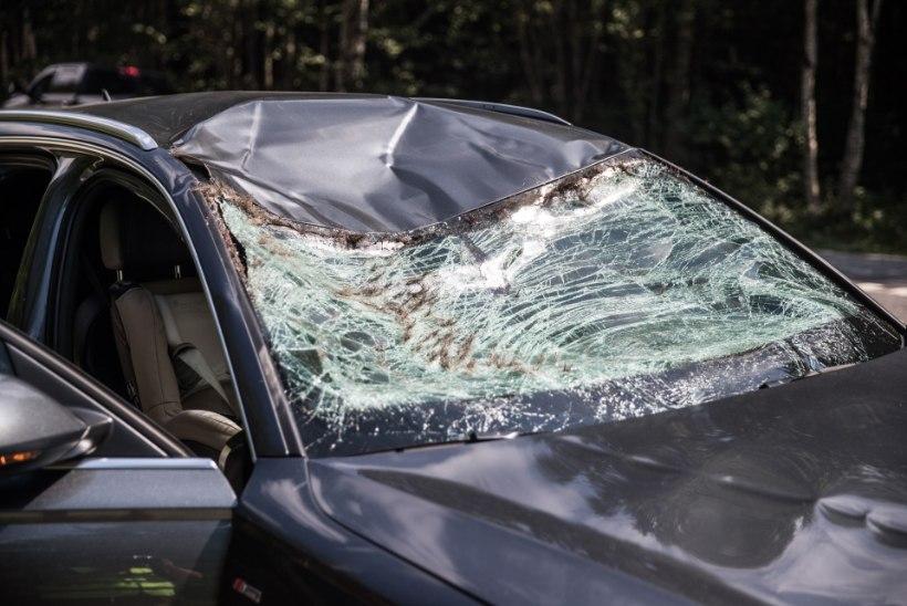 HÜPPELINE TÕUS: mullu hukkus liiklusõnnetustes enneolematult palju metsloomi