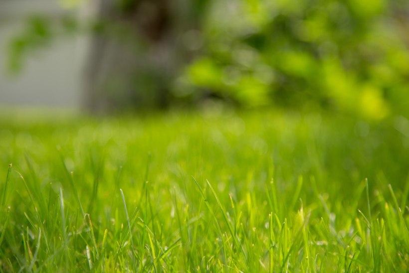 VÄRSKES NIPIRAAMATUS | Ekspert selgitab, kuidas hoida muru kaunina