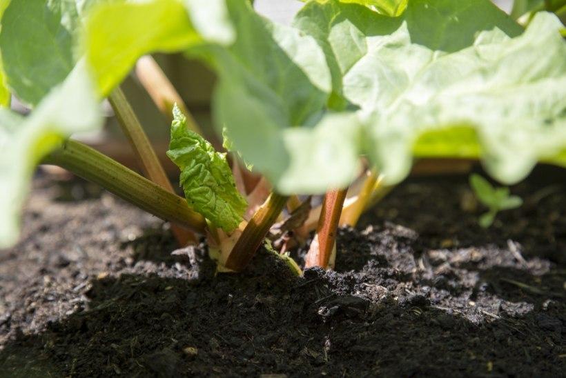 Kauaoodatud rabarber – hea maitselt ja kasulik tervisele