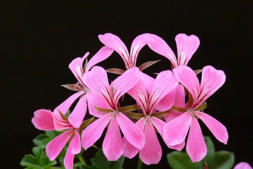 AED   Kaunis lilleampel, mis õitseb külmadeni, vajab just niisugust hoolt