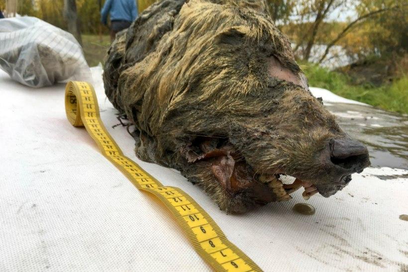 FOTO JA VIDEO | Siberi jahimees avastas 40 000 aastat tagasi elanud hundi pea