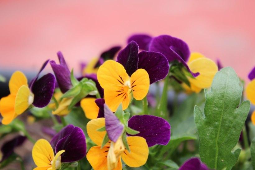 Sodiaagimärgi lemmikud: vaata, milline lill käib kokku sinu ema tähtkujuga!
