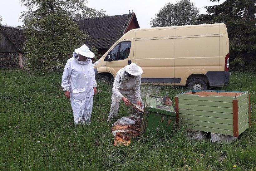 KARUDE MÄSS? Magusa kõhutäiega harjunud nuhtlusmõmmikud ründavad Lääne-Virumaal mesitarusid